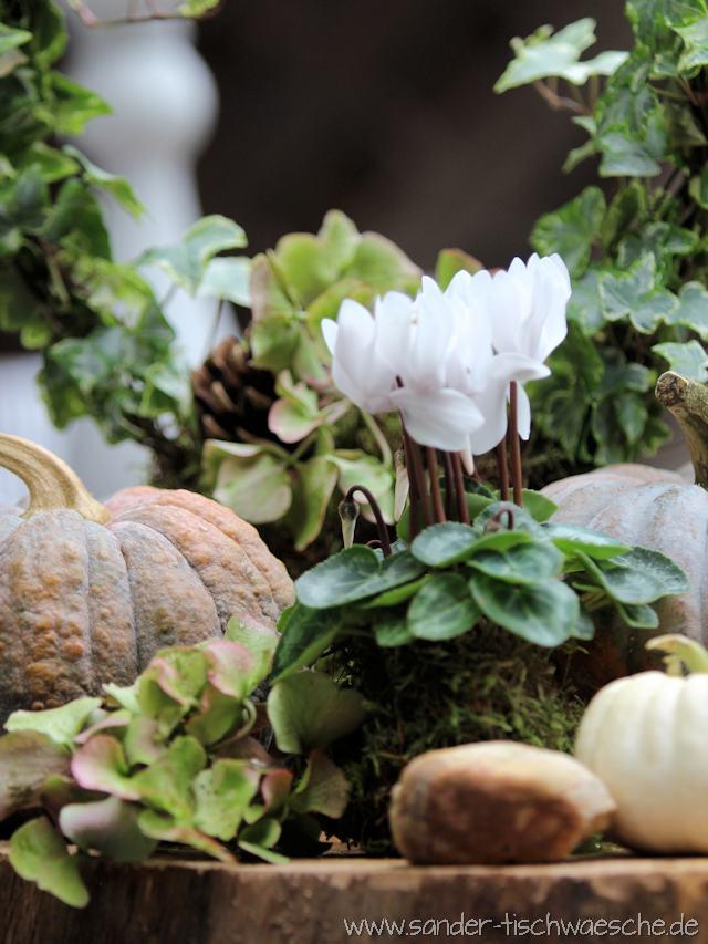 brauner Kürbis und Alpenveilchen für die Herbstdeko